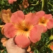 Campsis grandiflora - Photo (c) Andrew Payne, osa oikeuksista pidätetään (CC BY-NC)