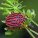 Graphosoma semipunctatum - Photo (c) Simon Grove, algunos derechos reservados (CC BY-NC), uploaded by Simon Grove (TMAG)