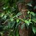 Piper kadsura - Photo (c) Yaling Lin,  זכויות יוצרים חלקיות (CC BY-NC)