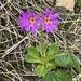 Primula cuneifolia - Photo (c) Jason Grant, algunos derechos reservados (CC BY)