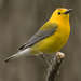 Prothonotary Warbler - Photo (c) Laura Gooch, some rights reserved (CC BY-NC-SA)