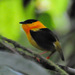Orange-collared Manakin - Photo (c) Jerry Oldenettel, some rights reserved (CC BY-NC-SA)