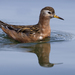 Phalaropes - Photo (c) Mike Baird, some rights reserved (CC BY)