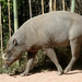 Hairy Babirusa - Photo (c) Suzanne Phillips, some rights reserved (CC BY-NC)