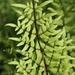 Cheilanthes viridis viridis - Photo (c) fayne, algunos derechos reservados (CC BY-NC)