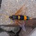 Urocerus flavicornis - Photo (c) andyps, osa oikeuksista pidätetään (CC BY-NC-ND)