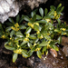 Spurge-Laurel - Photo (c) javielorriaga, some rights reserved (CC BY-NC)