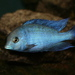 Cichlids - Photo (c) David Midgley, some rights reserved (CC BY-NC-ND)