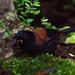Tieke de la Isla Sur - Photo (c) David Cook, algunos derechos reservados (CC BY-NC)