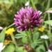 Trifolium wormskioldii - Photo (c) catchang,  זכויות יוצרים חלקיות (CC BY-NC)