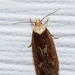 Purple Carrot-seed Moth - Photo (c) Darrell Lawson, some rights reserved (CC BY-NC)