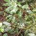 Neolitsea acuminatissima - Photo (c) kuobear, algunos derechos reservados (CC BY-NC)