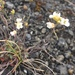 Arabidopsis lyrata petraea - Photo (c) James Mickley, algunos derechos reservados (CC BY-NC)