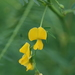 Sesbania cannabina - Photo (c) tern911,  זכויות יוצרים חלקיות (CC BY-NC)