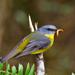 Eopsaltria australis - Photo (c) David Cook Wildlife Photography, algunos derechos reservados (CC BY-NC)