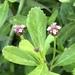 ליפיה זוחלת - Photo (c) yating,  זכויות יוצרים חלקיות (CC BY-NC)
