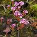 Sedum villosum - Photo (c) D. Tilson,  זכויות יוצרים חלקיות (CC BY-NC)