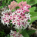 Showy Milkweed - Photo (c) stormcatcher, some rights reserved (CC BY-NC)
