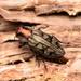 Chrysobothris ignicollis - Photo (c) Buddy, osa oikeuksista pidätetään (CC BY-NC)