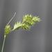 Carex projecta - Photo (c) ColinDJones, μερικά δικαιώματα διατηρούνται (CC BY-NC)