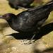 Corvino Negro - Photo (c) David Cook Wildlife Photography, algunos derechos reservados (CC BY-NC)