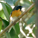 Spectacled Monarch - Photo (c) David Cook Wildlife Photography, some rights reserved (CC BY-NC)