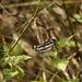 Neptis hylas luculenta - Photo (c) Yaling Lin,  זכויות יוצרים חלקיות (CC BY-NC)