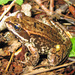 Cascades Frog - Photo (c) Greg Schechter, some rights reserved (CC BY)