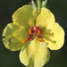 Moth Mullein - Photo (c) Lisa Kimmerling, some rights reserved (CC BY-NC-SA)