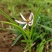 Iphigenia pallida - Photo (c) swanand kesari,  זכויות יוצרים חלקיות (CC BY-NC)