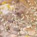 Eriogonum baileyi - Photo Unknown, δεν υπάρχουν γνωστοί περιορισμοί πνευματικών δικαιωμάτων (Κοινό Κτήμα)