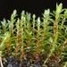 Ptychostomum pseudotriquetrum - Photo (c) Biopix, algunos derechos reservados (CC BY-NC)