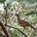 Guacharaca de Cabeza Gris - Photo (c) Wanja Krah, algunos derechos reservados (CC BY-NC-SA)