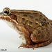 Pimocha White-lipped Frog - Photo (c) Santiago Ron, some rights reserved (CC BY-NC)