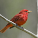 Summer Tanager - Photo (c) Josh Vandermeulen, some rights reserved (CC BY-NC-ND)