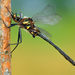Somatochlora elongata - Photo (c) Denis Doucet, μερικά δικαιώματα διατηρούνται (CC BY-NC)