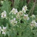 Hairy Mountainmint - Photo (c) sgeurtz, some rights reserved (CC BY-NC)