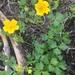 Potentilla flabellifolia - Photo (c) cloudya, algunos derechos reservados (CC BY-NC)