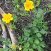 Potentilla flabellifolia - Photo (c) cloudya,  זכויות יוצרים חלקיות (CC BY-NC)