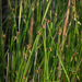 American Three-square Bulrush - Photo (c) Zach Schiff, some rights reserved (CC BY-NC)