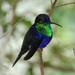 Thalurania colombica - Photo (c) Carol Foil, μερικά δικαιώματα διατηρούνται (CC BY-NC-ND)