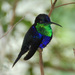 Thalurania colombica - Photo (c) Carol Foil,  זכויות יוצרים חלקיות (CC BY-NC-ND)