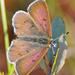 Tharsalea epixanthe - Photo (c) Denis Doucet, μερικά δικαιώματα διατηρούνται (CC BY-NC)