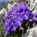 Long-spurred Violet - Photo (c) Andrea Schieber, some rights reserved (CC BY-NC-SA)