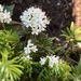 Labrador Tea - Photo (c) marymchurchill, some rights reserved (CC BY-NC)