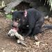 Marsupiales Carnívoros Y Numbats - Photo (c) Charlieatyourservice, algunos derechos reservados (CC BY-SA)