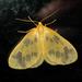 Eubaphe - Photo (c) kestrel360, algunos derechos reservados (CC BY-NC-ND)