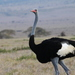 Somali Ostrich - Photo (c) redwolf, some rights reserved (CC BY-NC)