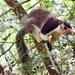 Ratufa macroura - Photo (c) swgarnett, algunos derechos reservados (CC BY-NC)