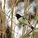 Yellow-bellied Seedeater - Photo (c) Mauricio Mercadante, some rights reserved (CC BY-NC-SA)